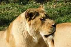 Memphis Zoo (Tiger_Jack) Tags: memphis memphiszoo zoo zoos zoosofnorthamerica itsazoooutthere lions lion bigcat bigcats flickrbigcats