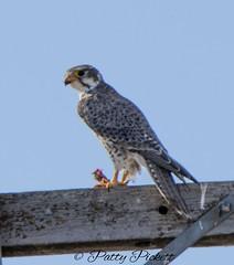 prairie falcon (Pattys-photos) Tags: prairie falcon monteview idaho pattypickett4748gmailcom pattypickett