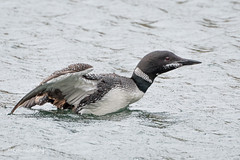 Common Loon - My first 502_1915.jpg (Mobile Lynn) Tags: commonloon birds nature bird fauna gaviaimmer loon wildlife mountdesert maine unitedstatesofamerica coth specanimal coth5 ngc npc
