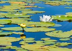 Enriching (Wicked Dark Photography) Tags: wisconsin flower flowers kayaking lilypads summer waterlily waternature wildflower wildflowers