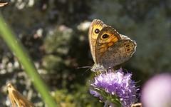Ariane ♀ (Lasiommata maera) - BFIM3004 (6franc6) Tags: papillon occitanie languedoc gard cévennes août 2019 rando vélo kalkoff sansvae 6franc6