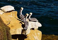 _DSC9313  Cute pelicans (christinachui79) Tags: pelicans wildlife bird flickr nature landscape nikon naturephotography landscapephotography flickrnature birdphotography wildlifephotography california coast lajolla