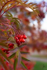 Rowan berries (jannaheli) Tags: suomi finland helsinki arabianranta arabia autumn autumnmood colorsofautumn nature naturetherapy naturephotography naturephotoshooting visitfinland visithelsinki rowanberries