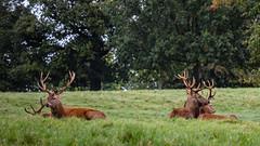 Studley Royal (Mike Blythe) Tags: deer naturalhistory rain studleyroyal unitedkingdom