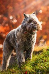 Picture of the Day (Keshet Kennels & Rescue) Tags: adoption dog dogs canine ottawa ontario canada keshet large breed animal animals kennel rescue pet pets field nature autumn fall photography bouvier des flanders bangs haircut groomed grooming grey gray eye hillside slope