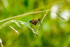 Hespérie du chiendent  thymelicus acteon (Ezzo33) Tags: hespérieduchiendent thymelicusacteon france gironde nouvelleaquitaine bordeaux ezzo33 nammour ezzat sony rx10m3 parc jardin papillon papillons butterfly butterflies lullworthskipper mattscheckiger braundickkopffalter doradaoscura sarilekelizıpzıp