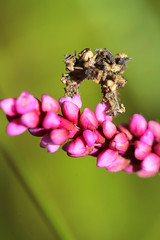 The Camouflaged Looper (curious_spider) Tags: camouflagedlooper flower poink pink caterpillar insect macro