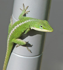 Green anole sneaking into my flowers (Vicki's Nature) Tags: greenanole young green racingstripe blueeyes gray manmade lizard reptile flowergarden yard georgia vickisnature canon s5 3315 wild