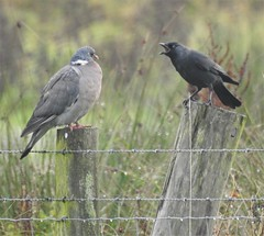 """Stand Still You 'Orrible Pigeon !!"" (Gilli8888) Tags: birds northeast nikon p900 coolpix lamesley lamesleypastures tyneandwear gateshead wetlands pigeon woodpigeon jackdaw two fence 2 post wooden"