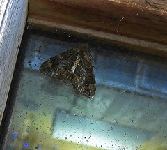 Moth:  16.10.19. (VolVal) Tags: dorset bournemouth boscombe garden moth window october