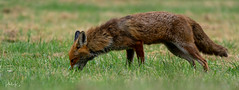 Smells good! (PhilR1000) Tags: fox wild redfox oxfordshire vulpesvulpes animal nature