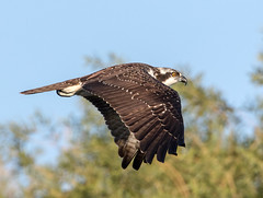 Osprey (Ed Sivon) Tags: america canon nature lasvegas wildlife western wild water southwest desert clarkcounty vegas flickr bird birdofprey henderson nevada