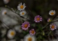 Pink chamomile (akatsoulis) Tags: macrodreams dof bokeh macro closeup nikonuk nikkor wales traveling d5300 nikon nature pink chamomile flowers