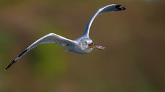 Ring-billed Gull and a Catfish  6491 (Paul McGoveran) Tags: bif bird birdinflight hendrievalley nature nikon500mmf4 nikond500 nikond850 ringbilledgull coth5