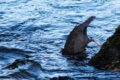Les oiseaux du Salat (Ariège) (PierreG_09) Tags: seix ariège pyrénées pirineos faune oiseau eau rivière salat ruisseau cincle cincleplongeur cincluscinclus whitethroateddipper mirloaquatico