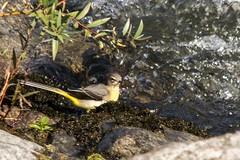 Les oiseaux du Salat (Ariège) (PierreG_09) Tags: seix ariège pyrénées pirineos faune oiseau eau rivière salat bergeronnettedesruisseaux motacillacinerea greywagtail lavanderacascadeña gebirgsstelze