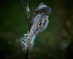 milkweed, at dawn, 10-12-19 (wbhmatthies) Tags: milkweed dawn fall withered withering seeds seedpod seedpods low light panasonics1 gcs1 captureone12pro wilhelm wilhelmmatthies matthies wisconsin