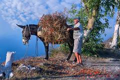 Ντοματάκι Σαντορίνης Santorini's small tomato (Dimitil) Tags: action aegean aegeansea animals clouds country countrylive countryside countryard county cyclades domesticanimals donkey environs geeekislands greece greekislands greeksummer greektradition hellas islands likeoldtimes oldman oldpeople rural rurallife ruralscene santorini tradition traditionaljobs traditionallife villagelife