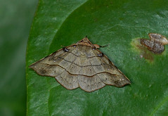 To be identified (creaturesnapper) Tags: panama moths lepidoptera insects nationalmothweek