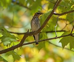 Immature cedar waxwing (carpingdiem) Tags: cedarwaxwing birds indianapolis fall 2019