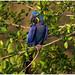 Hyacinth macaw - Hyacinthara of de Blauwe ara - (Anodorhynchus hyacinthinus)