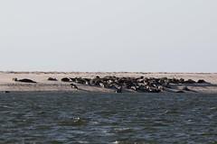 Colonia de focas grises (RubénRamosBlanco) Tags: naturaleza nature animales wildlife mamíferos mammals focagris greyseal halichoerusgrypus verano summer sunbathing soleándose barra sandbar playa beach chatham mass usa