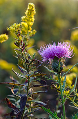 Early morning Goldenrod and Bull Thistle- Cades Cove (ToddGraves2) Tags: