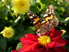 Painted Lady on Dahlia (shelly.morgan50 (mostly off)) Tags: shellymorgan50 panasoniclumixdczs200 sunshine macro bokeh light butterfly nature beauty colorful bright usa midwest vanessa paintedlady insect dahlia hww wingwednesday flower red sunny garden bokehwednesday bokehwednesdays hbw