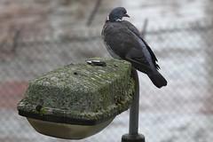 zzzzzz_Wood-Pigeon ~ 2019-10-11 @ BHX (1) (www.EGBE.info) Tags: woodpigeon birminghamairport bhx egbb cvtwings davelenton httpwwwegbeinfo canoneos800d 11102019 wildlifestudies