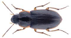 Siopelus (Neosiopelus) melancholicus (Boheman, 1848) (urjsa) Tags: coleoptera käfer beetle insect carabidae neosiopelus kenya kenia taxonomy:family=carabidae taxonomy:order=coleoptera kaefer afrika africa geo:country=kenya coleopteraus taxonomy:genus=siopelus siopelus siopelusmelancholicus neosiopelusmelancholicus taxonomy:binomial=siopelusmelancholicus taxonomy:binomial=neosiopelusmelancholicus taxonomy:species=melancholicus