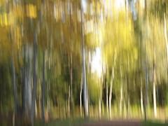 Golden Autumn (evisdotter) Tags: forest skog trees grass path stig autumn colors höstfärger icm nature sooc birches light intentionalcameramovement