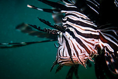 Red Lionfish Portrait 2019 - 1 (Gomen S) Tags: animal wildlife nature fish macro 60mmmicro d500 nikon asia tropical 2019 autumn afternoon hongkong hk china underwater diving ocean