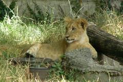Buffalo Zoo (Tiger_Jack) Tags: buffalozoo buff zoo zoos zoosofnorthamerica itsazoooutthere lions lion bigcat bigcats flickrbigcats
