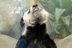 Memphis Zoo (Tiger_Jack) Tags: memphis memphiszoo zoo zoos zoosofnorthamerica itsazoooutthere pandas panda