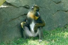 Memphis Zoo (Tiger_Jack) Tags: memphis memphiszoo zoo zoos zoosofnorthamerica itsazoooutthere mandrill mandrills primate primates