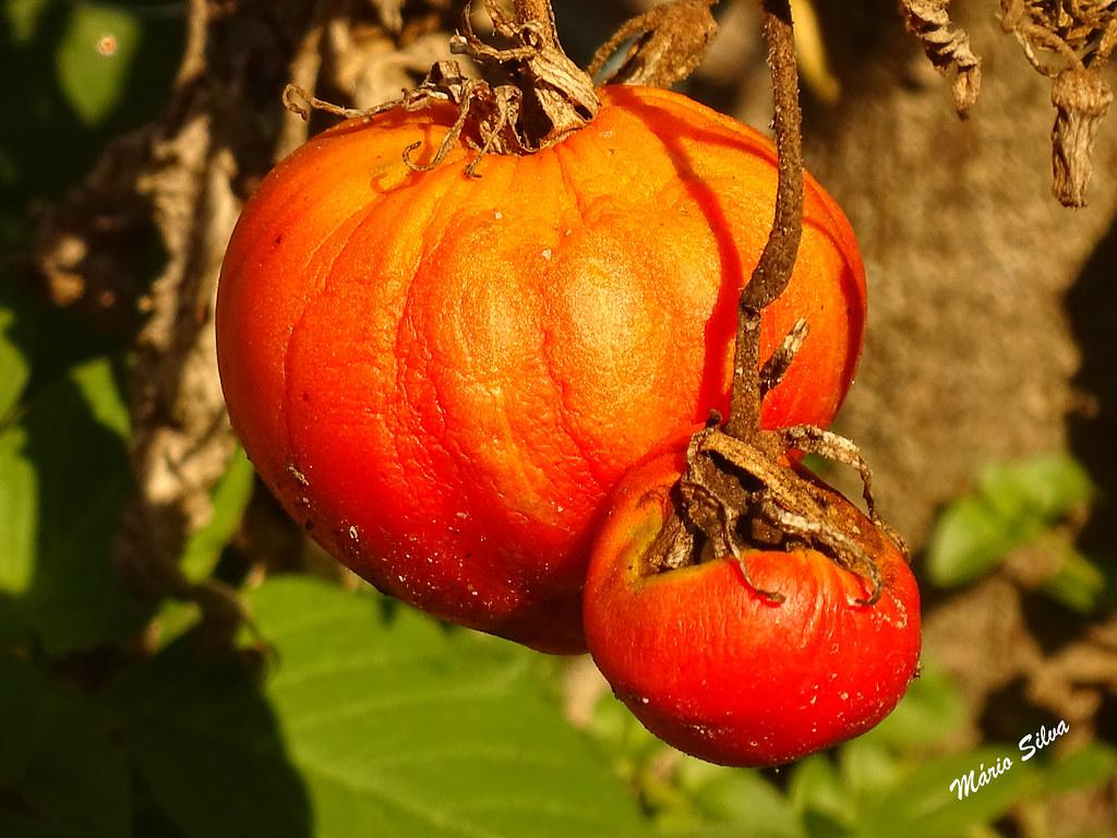 Águas Frias (Chaves) - ... o tomate e o tomatinho ...