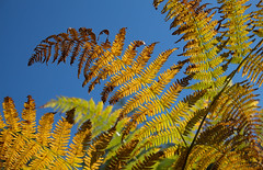 Yellow + Blue = Green (music_man800) Tags: yellow brown orange green blue colours colourful autumn fall bracken fern dead sky sunny day morning september walk hike crooksbury hill surrey heaths aonb hills uk united kingdom viewpoint nature natural light lighting warm pointy shape lookingup pretty beautiful canon 700d adobe lightroom creative cloud edit photography arty artistic flora