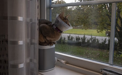 Quilpie (peter_hasselbom) Tags: cat cats abyssinian blue cone sitting loudspeaker sonos window lookingout road fujifilm
