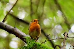 Eurasian Robin (Erithacus rubecula) (grubby1949) Tags: erithacusrubecula robin redbreast uk ukbirds birdwatcher birdwatchers birdwatching bird feather westsussex woodland friendly beak