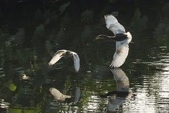 Chase (Joy Forever) Tags: heron bird wildlife fish water pond hooghly india hunting wings reflection flight fly