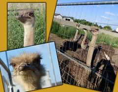 Wir stecken den Kopf nicht in den Sand !😉 / We don't bury our heads in the sand !😉 (ursula.valtiner) Tags: vogel bird straus ostrich niederösterreich loweraustria austria autriche österreich