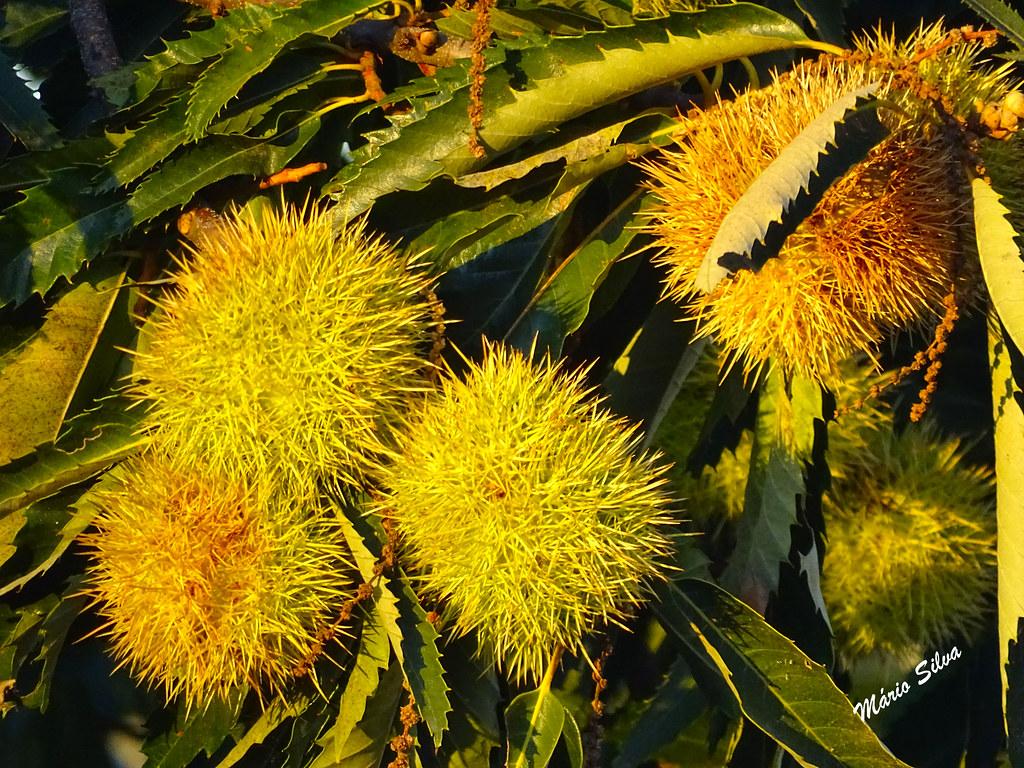 Águas Frias (Chaves) - ... os castanheiros exibem os seus ouriços que guardas as saborosas castanhas ...
