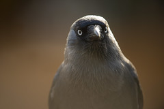 Jackdaw (Benjamin Joseph Andrew) Tags: one lone single individual bird corvid crow autumn staring looking perching stare woodland park portrait headshot