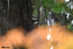 Chouette Chevêchette d'Europe - Glaucidium passerinum (Daniel SALTZMANN) Tags: chevêchette bird birds oiseaux oiseau explore wild wildlife birdofprey national saltzmann daniel alsace outside design sunset sky owl chouette rapace nocturne glaucidium passerinum