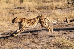 Cheetah running after jumping down from tree (Paul Cottis) Tags: bigcat cheetah mammal paulcottis 23 june 2019 climb tree savute botswana chobe africa