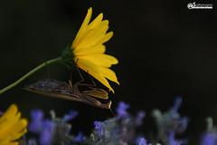 Mante religieuse Mantis religiosa (Daniel SALTZMANN) Tags: mante religieuse mantis religiosa national saltzmann daniel alsace outside design sunset