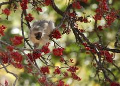 Vervet Baby (DeniseKImages) Tags: wildlife africa vervet vervetmonkey monkey monkeys red berry redberry redberries tree monkeyintree monkeyeating southafrica nature wild animal animals wildanimals wildanimal
