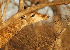 Designer Tongue (DeniseKImages) Tags: wildlife africa giraffe giraffetongue purpletongue southafrica nature wild animal animals wildanimals wildanimal