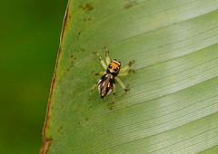 Jumping Spider --- Hypaeus benignus (creaturesnapper) Tags: panama salticidae jumpingspiders araneae hypaeusbenignus
