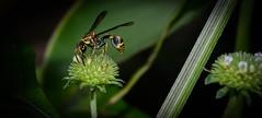 Hymenoptera: Vespidae (entomopixel) Tags: hymenoptera vespidae insect insecto insectphotography insectmacro photography macrophotopraphy arthropods